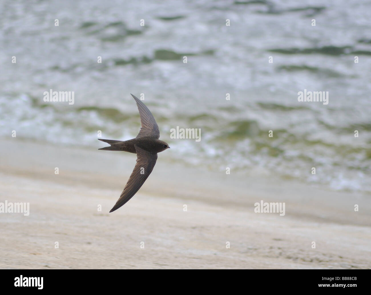 Common Swift. Apus apus IN FLIGHT OVER WATER. French: Martinet noir German: Mauersegler Spanish: Vencejo común - Stock Image
