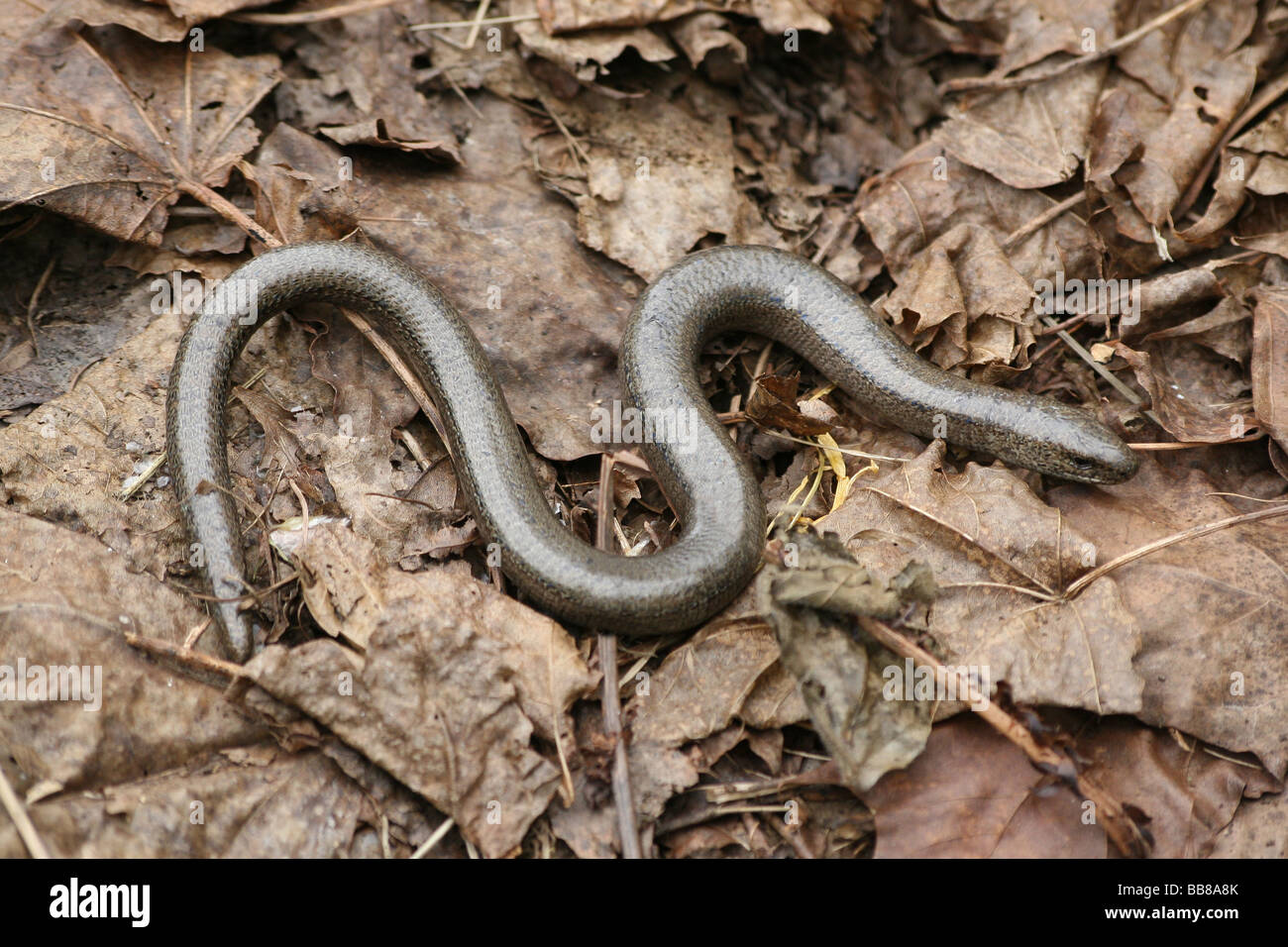 Male Slow-worm Anguis fragilis On Dried Leaves Taken in Cumbria, UK Stock Photo
