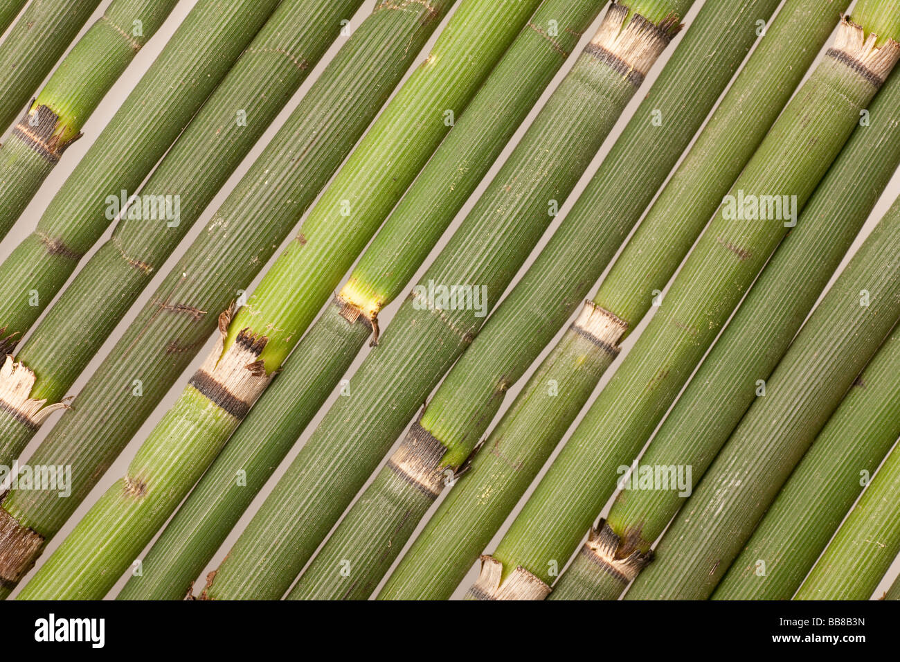 Horsetail, several diagonal culms - Stock Image