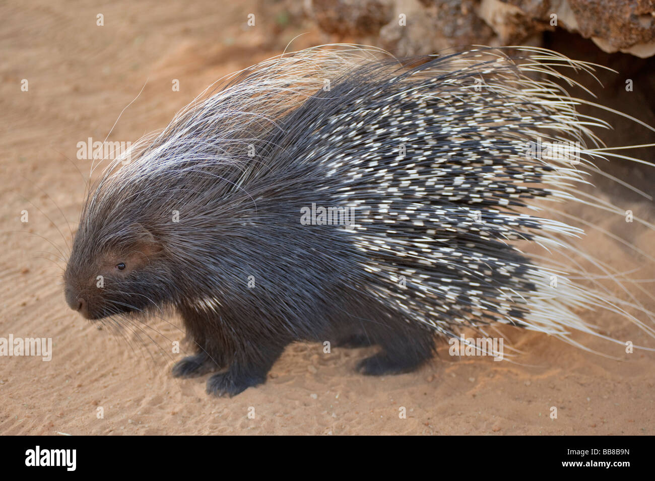Cape Porcupine or South African Porcupine (Hystrix africaeaustralis) in a cage on the Zelda Game & Guest Farm, - Stock Image