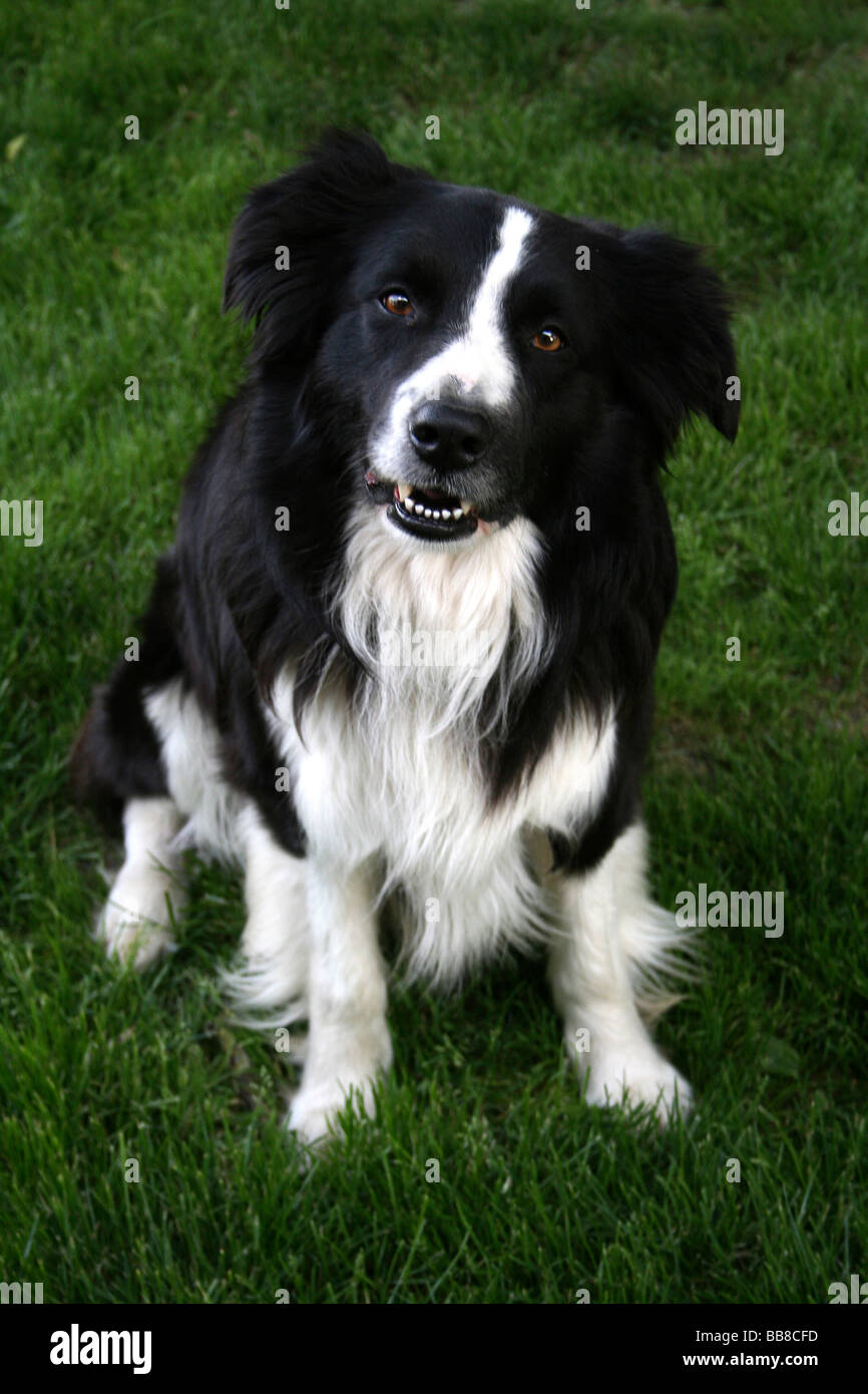 Portrait Of Border Collie Sat On Grass - Stock Image
