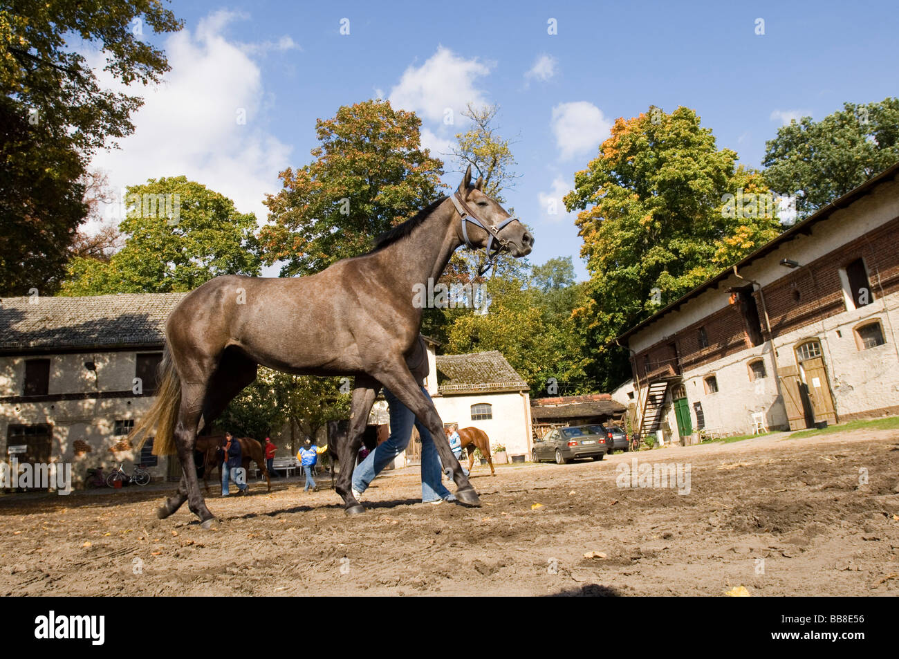 Racehorse being lead to the stables of Hoppegarten Racecourse after a race, Berlin, Germany, Europe - Stock Image