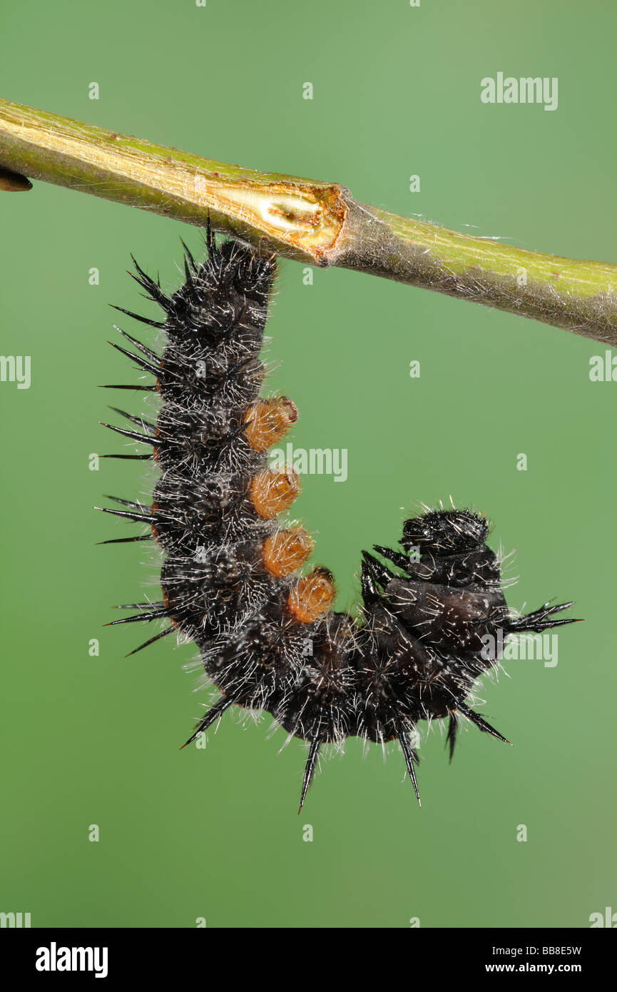 Camberwell Beauty Larva - Nymphalis antiopa - ready to change into a pupa - Stock Image