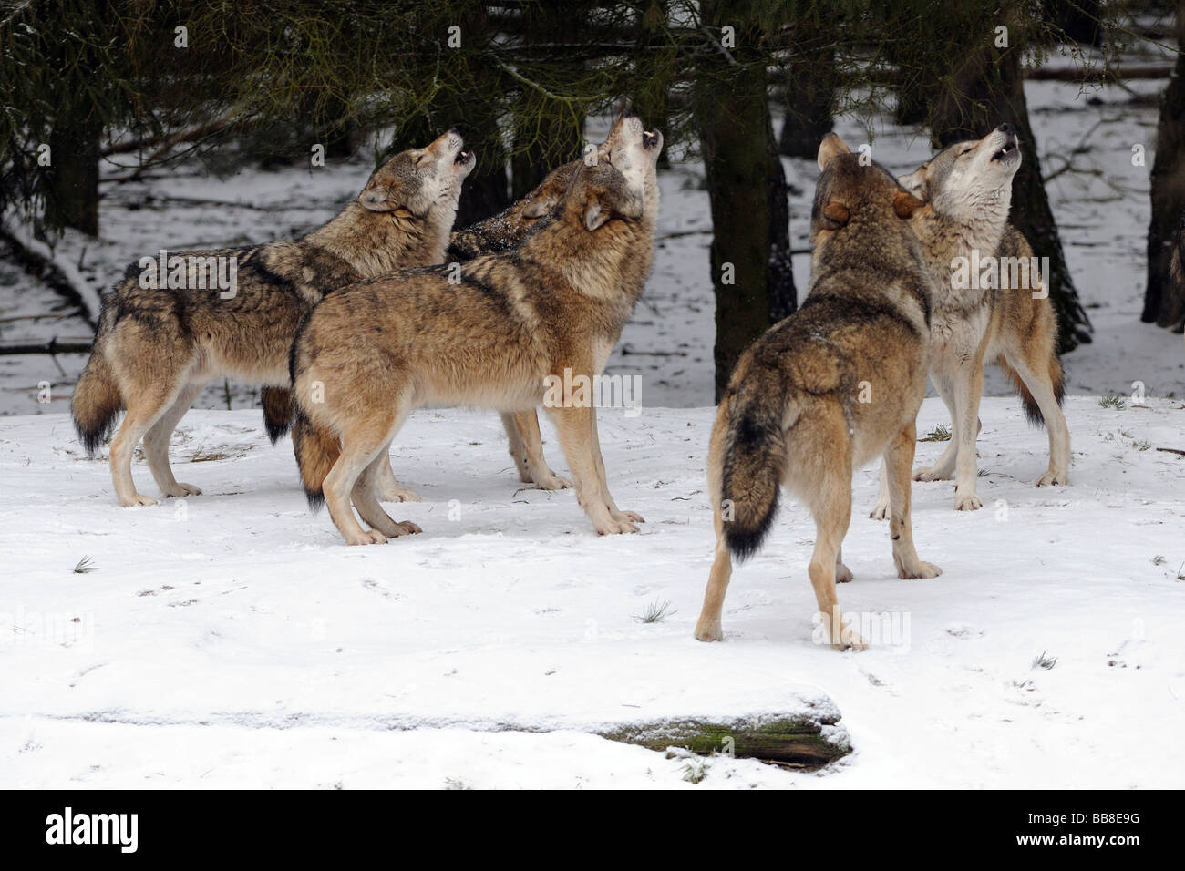 Pack of Gray Wolves (Canis lupus) howling during rut period - Stock Image