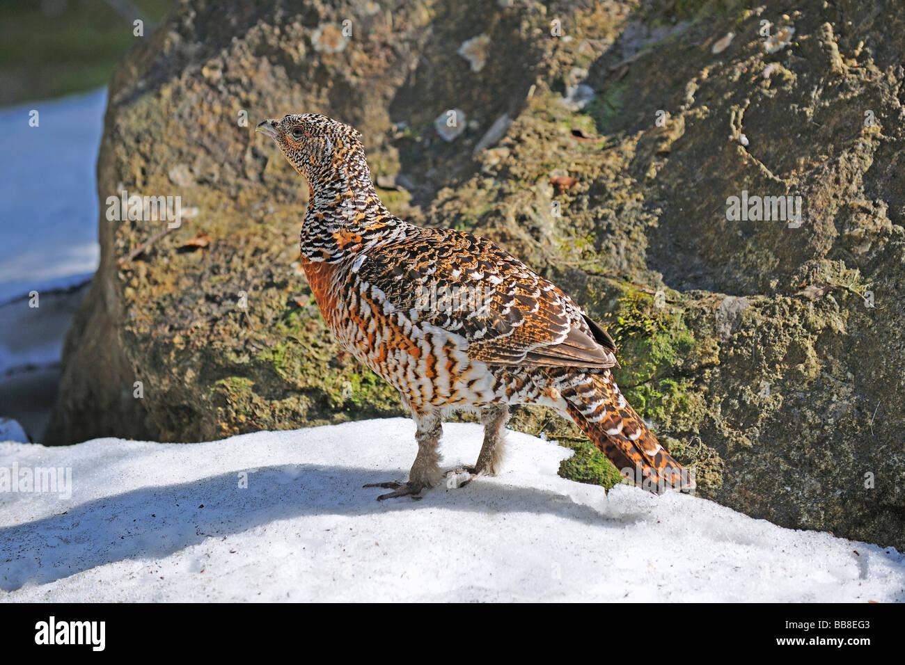 Wood Grouse (Tetrao urogallus), hen Stock Photo