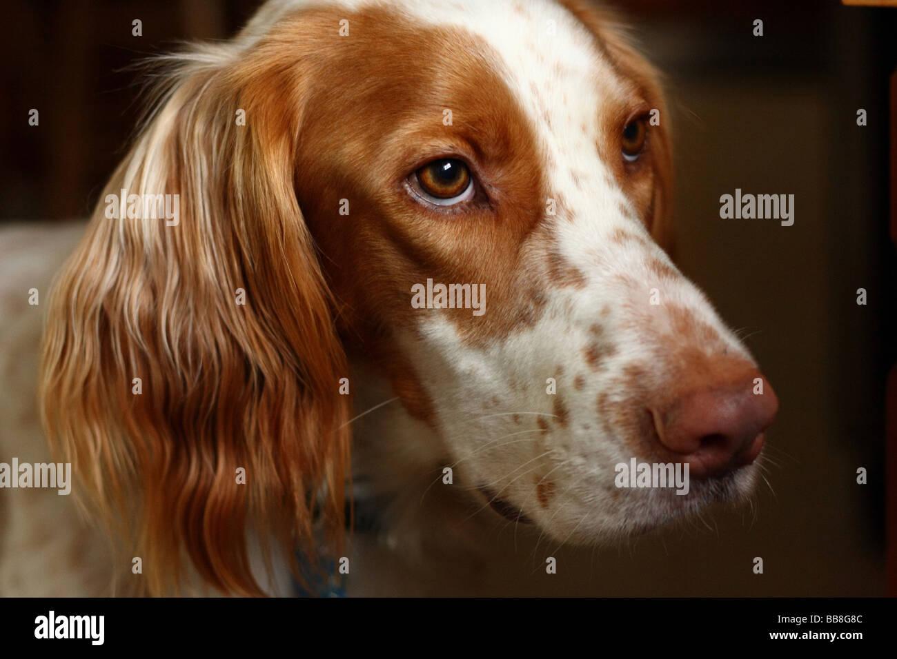 English Setter dog portrait by window light - Stock Image