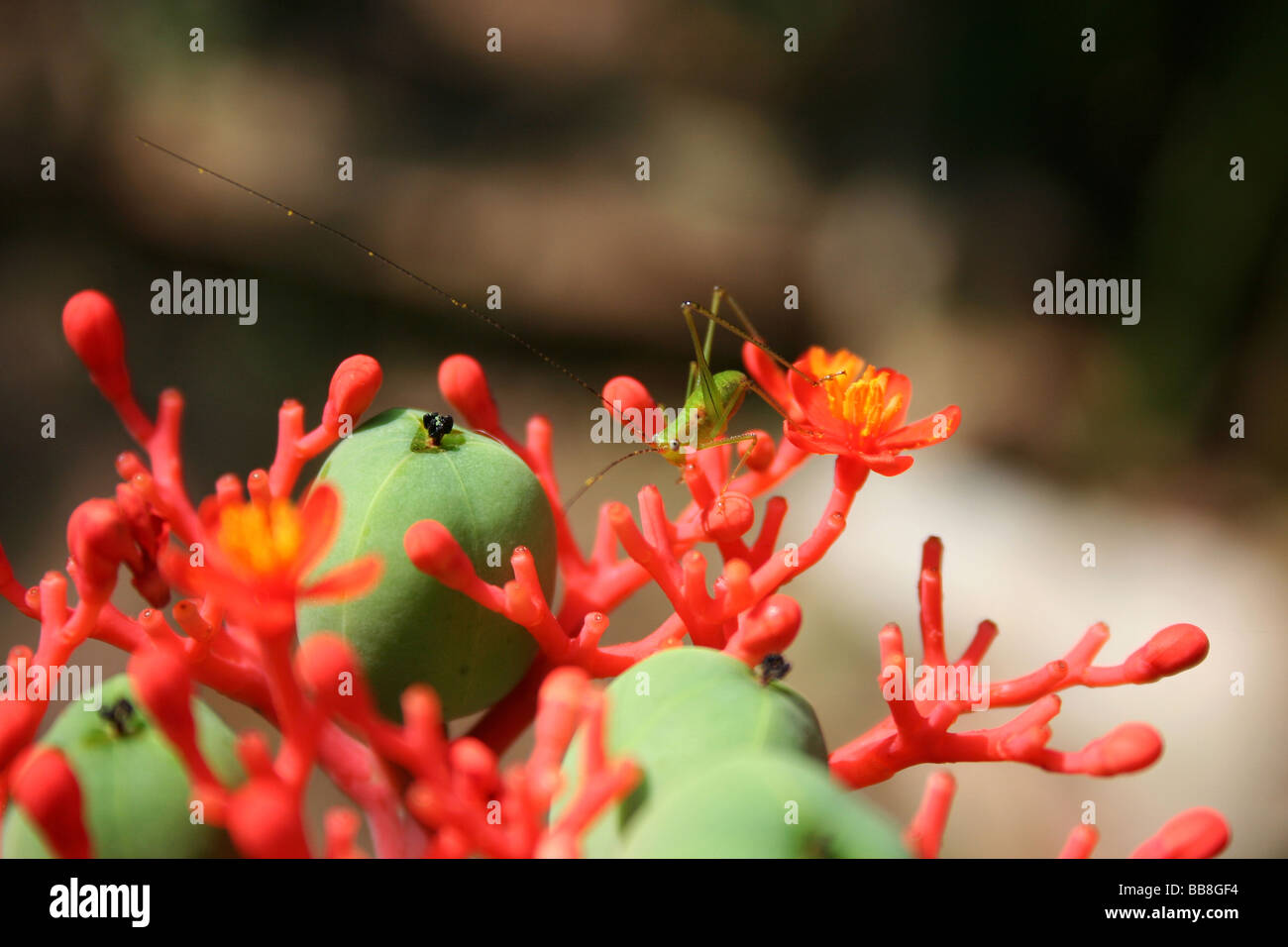 Cricket, Insect, Viet Nam - Stock Image
