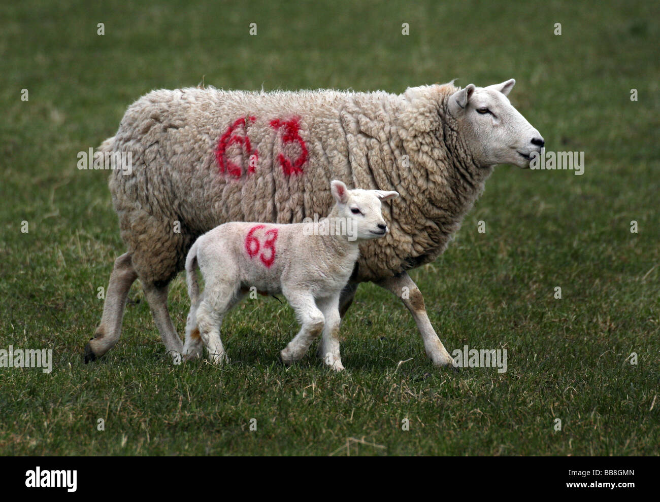 Newborn lamb and Ewe in a field in Steeple Bumstead on the Essex Suffolk Borders - Stock Image