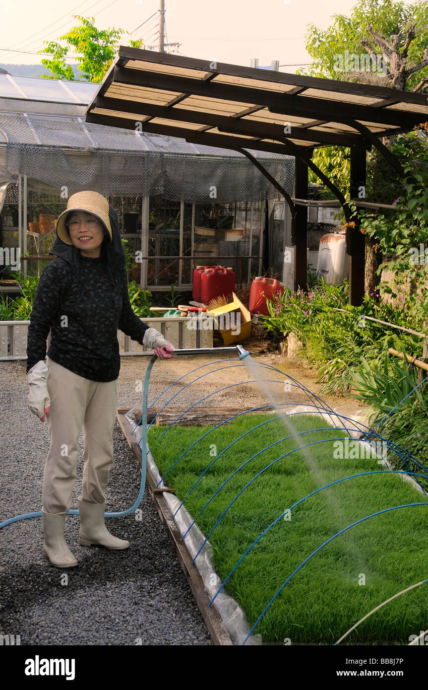 After the furnace rice shoots are cultivated in an artificial planting basin, female rice farmer, Iwakura, Kyoto, - Stock Image