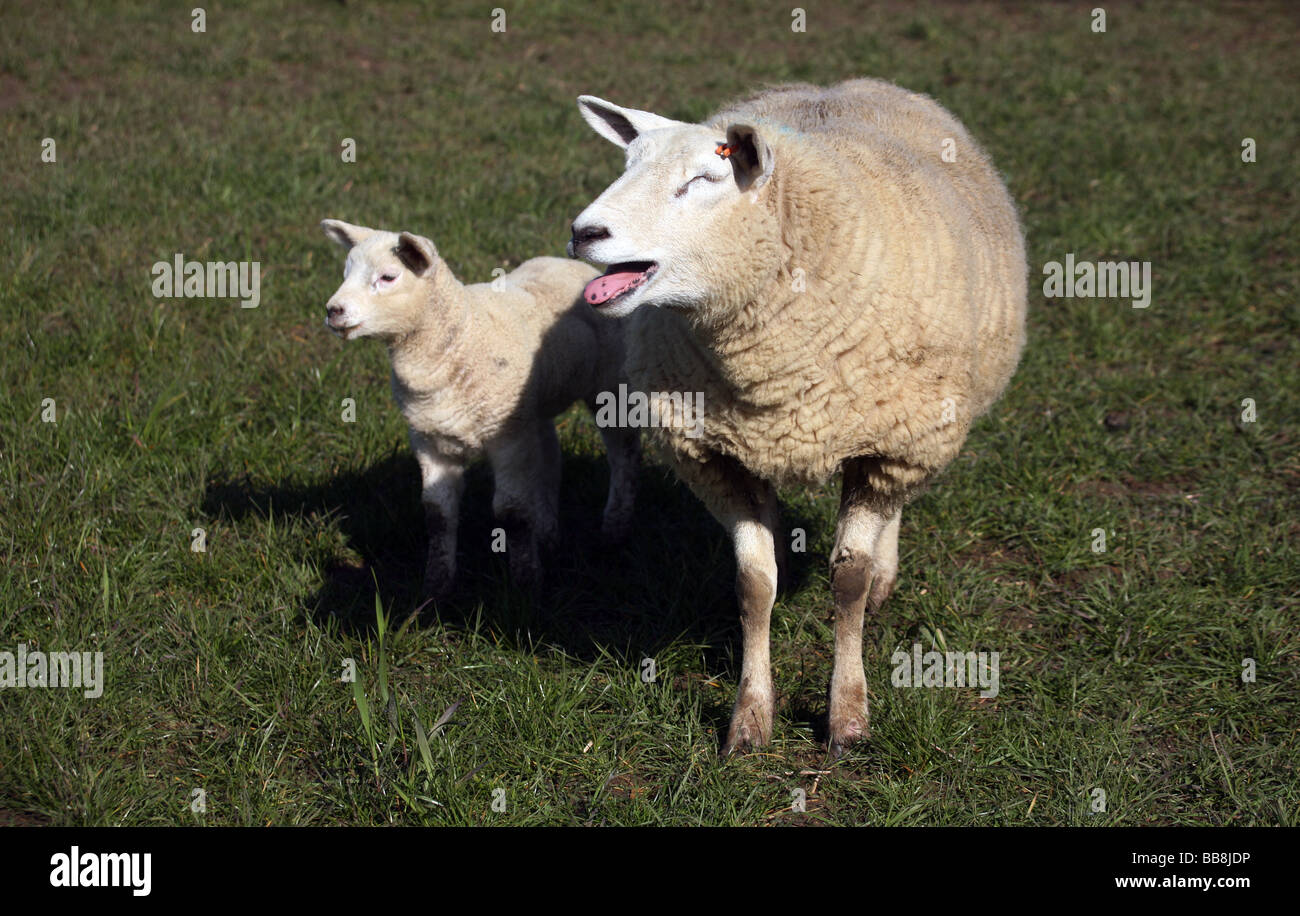A Ewe and her lamb - Stock Image