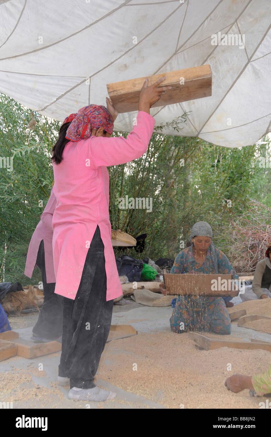Ladakhi women cleaning barley, oasis town Diskit, Nubra Valley, Ladakh, India, the Himalayas - Stock Image