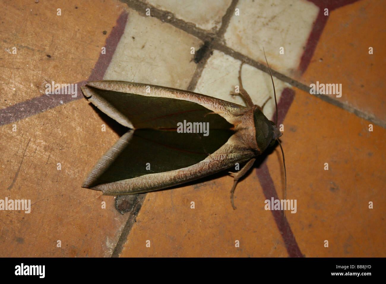 Moth, Viet Nam - Stock Image