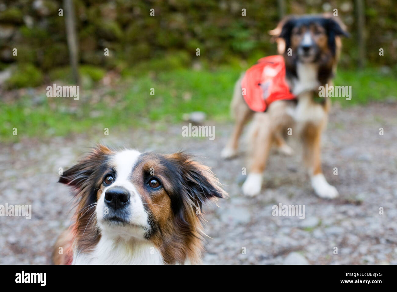 Accredited Search dogs used by handlers of the Search and Rescue Dog Association - Stock Image