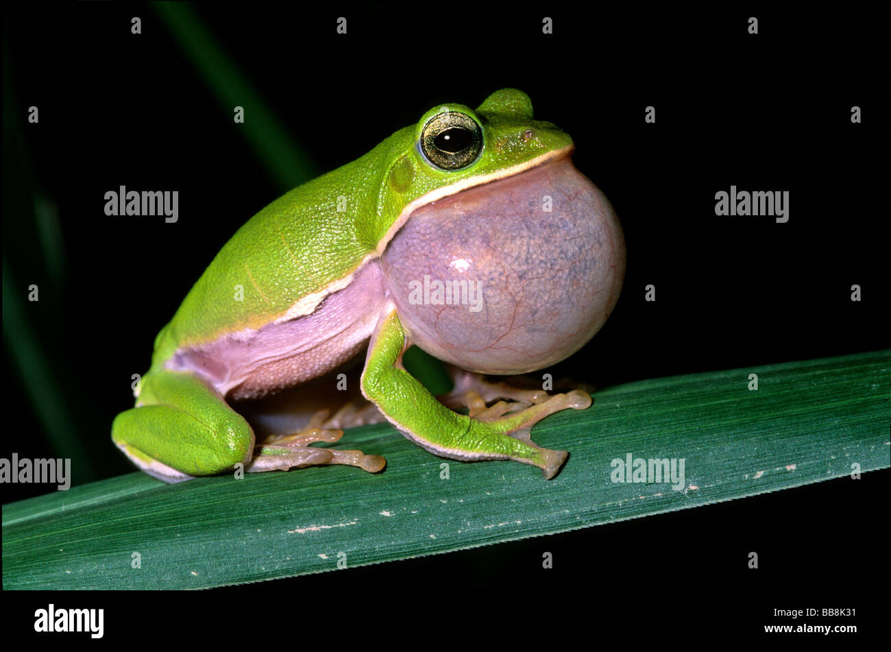 Tree frog (Rhacophorus arvalis), inflated vocal sac, courtship, endangered species, Taiwan, Asia - Stock Image