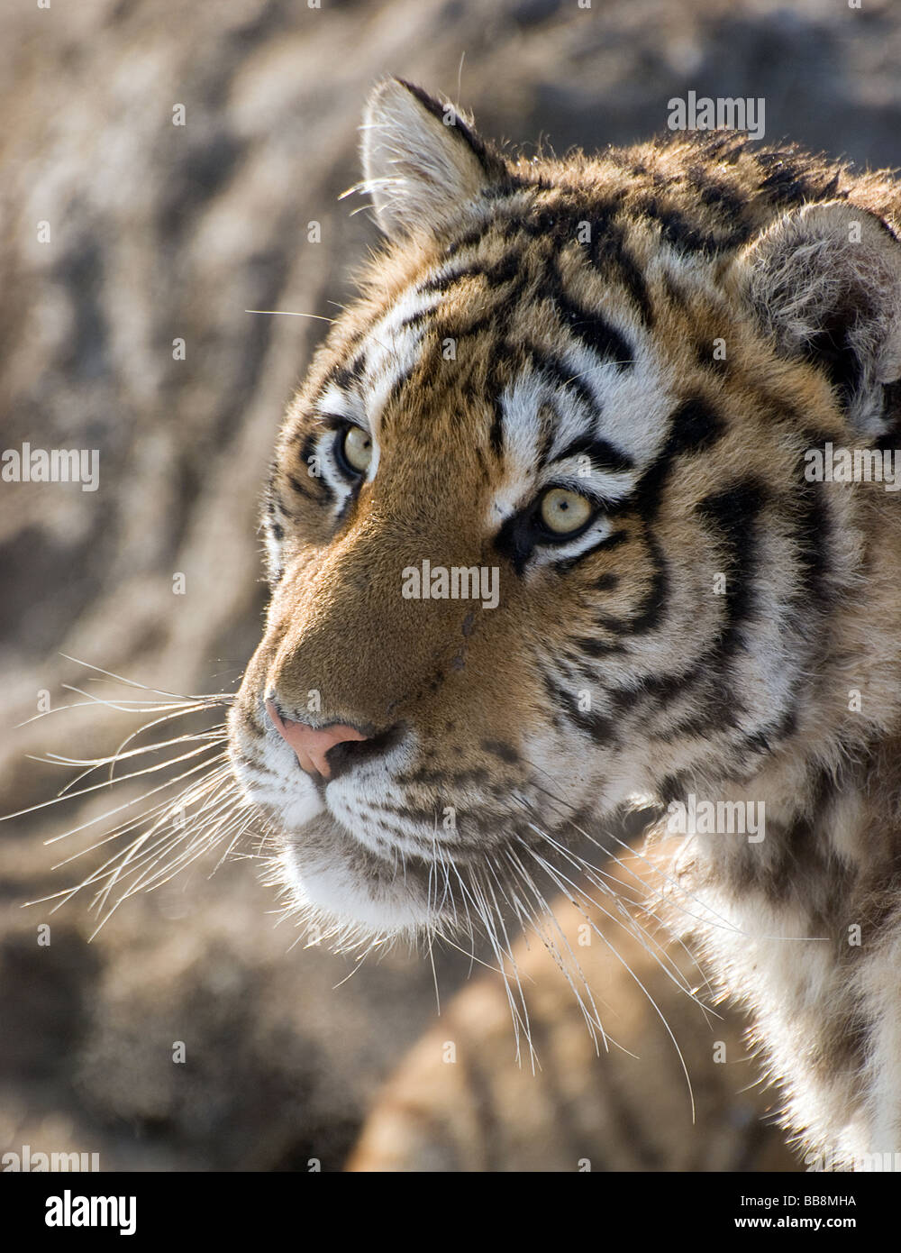 Head of a siberian tiger - Stock Image