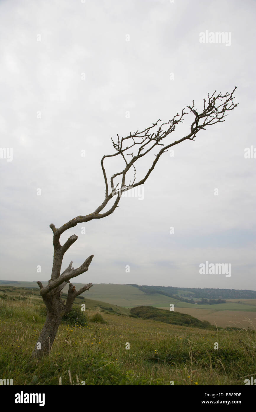 Tree at coast shaped by prevailing gales, Beachy Head, East Sussex, England, United Kingdom - Stock Image