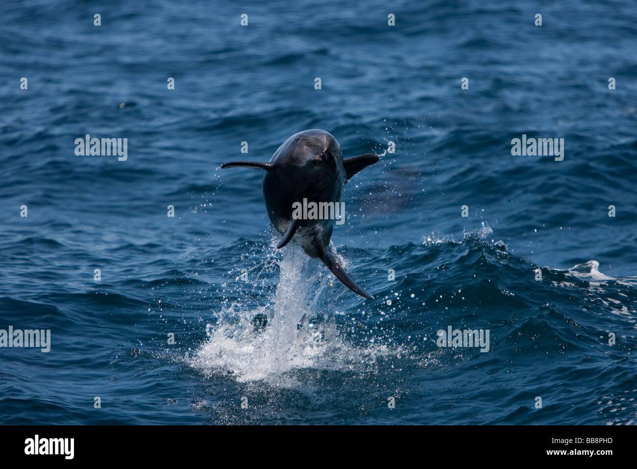 Bottlenose Dolphin tursiops truncatus Großer Tümmler leaping Sea of Cortez Baja California Mexico - Stock Image