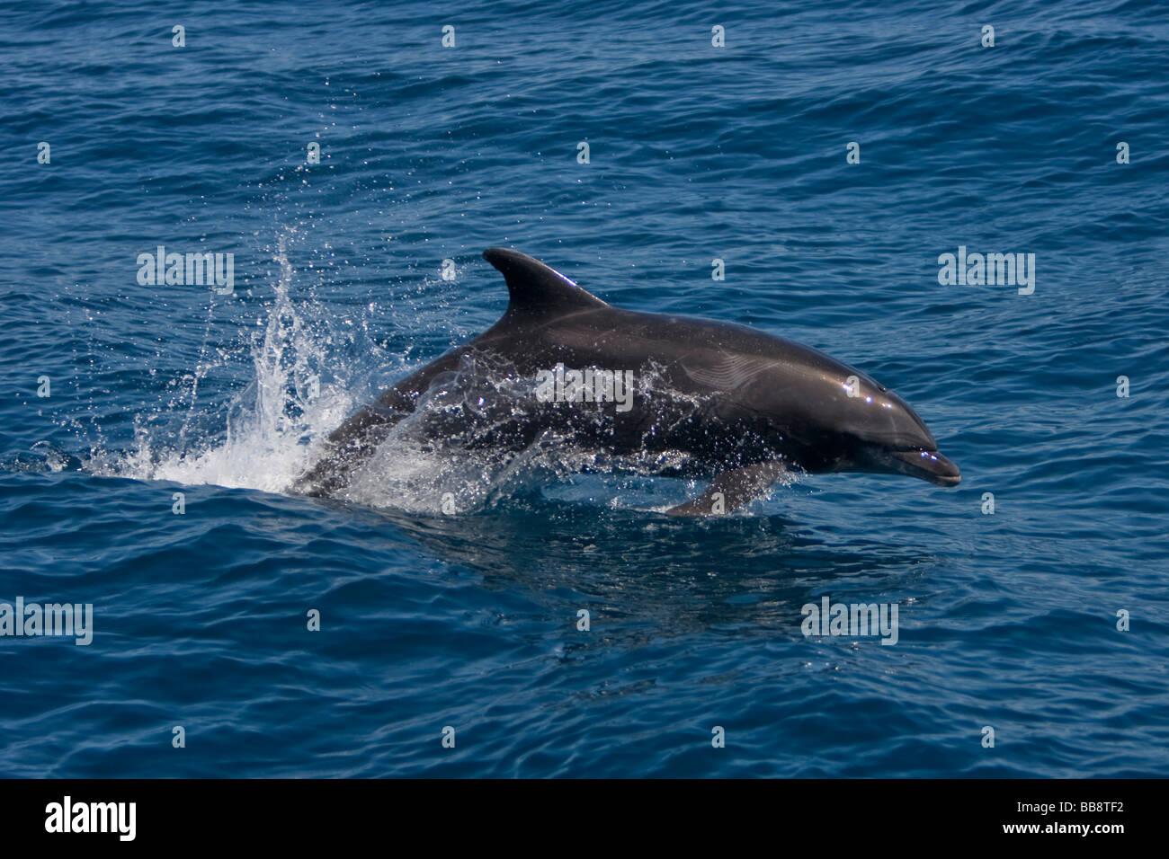Bottlenose Dolphin tursiops truncatus Großer Tümmler leaping Sea of Cortez Baja California Mexiko - Stock Image