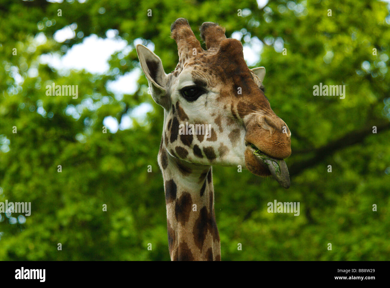 A giraffe sticks it's tongue out. - Stock Image