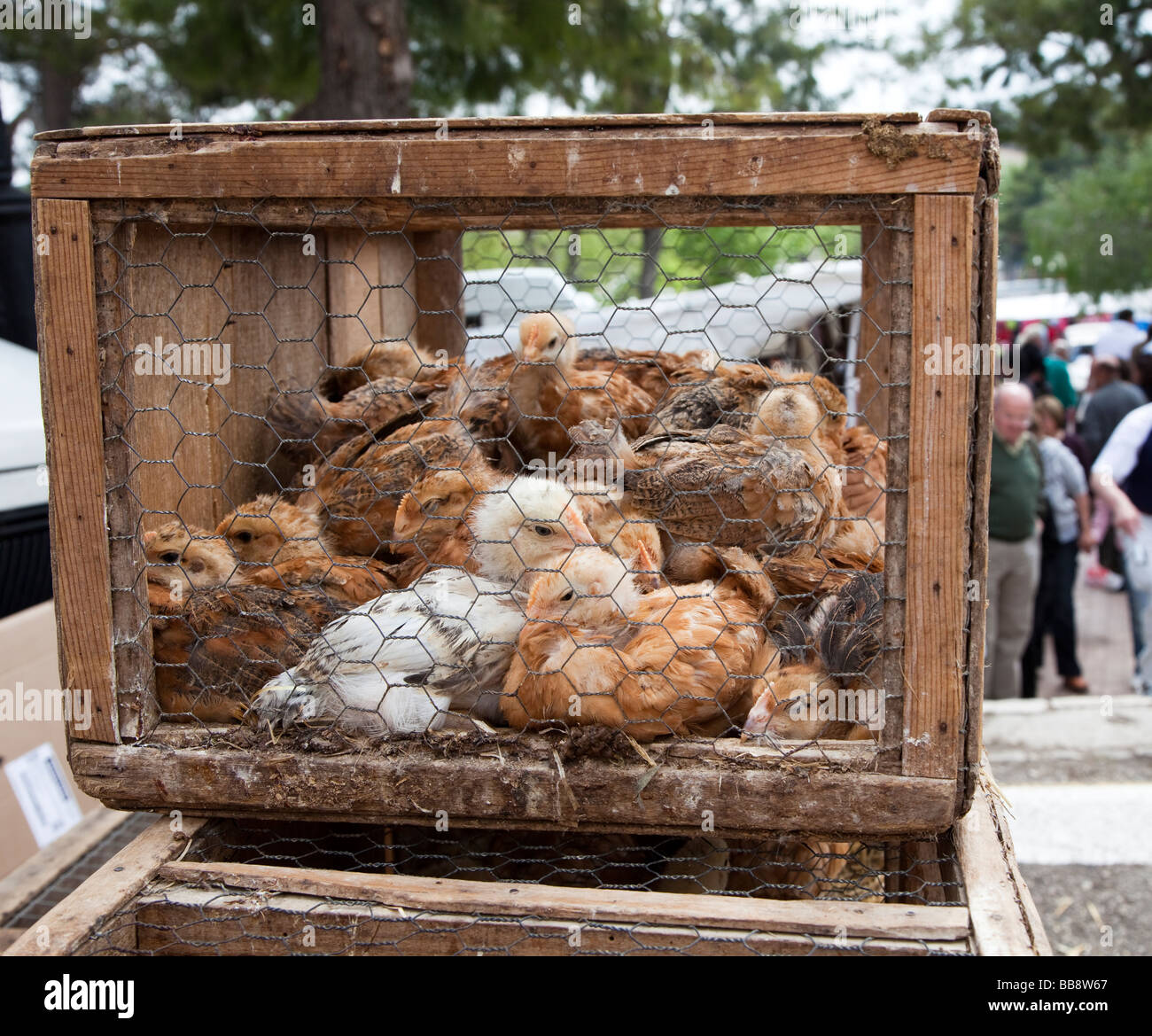 Chickens in cage for sale at market Sineu Mallorca Spain - Stock Image