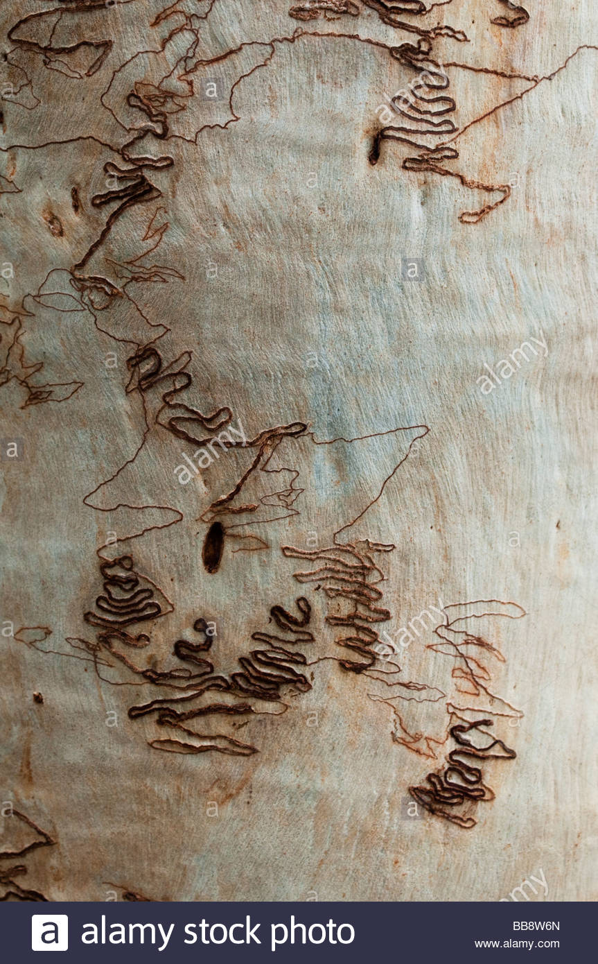 Pattern on the bark of Scribbly Gum or Eucalyptus Signata NSW Australia - Stock Image