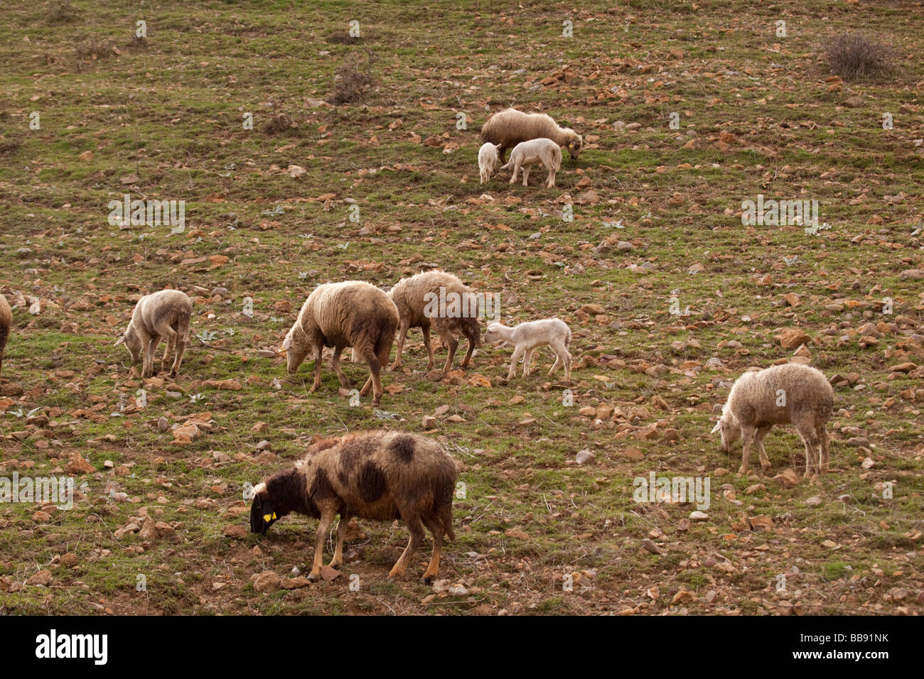 Sheep grazing on a hillside in central Turkey - Stock Image