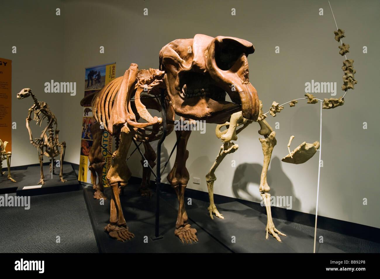Diprotodon skeleton at a dinosaur exhibition in the South Australian Museum.  Adelaide, South Australia, AUSTRALIA - Stock Image