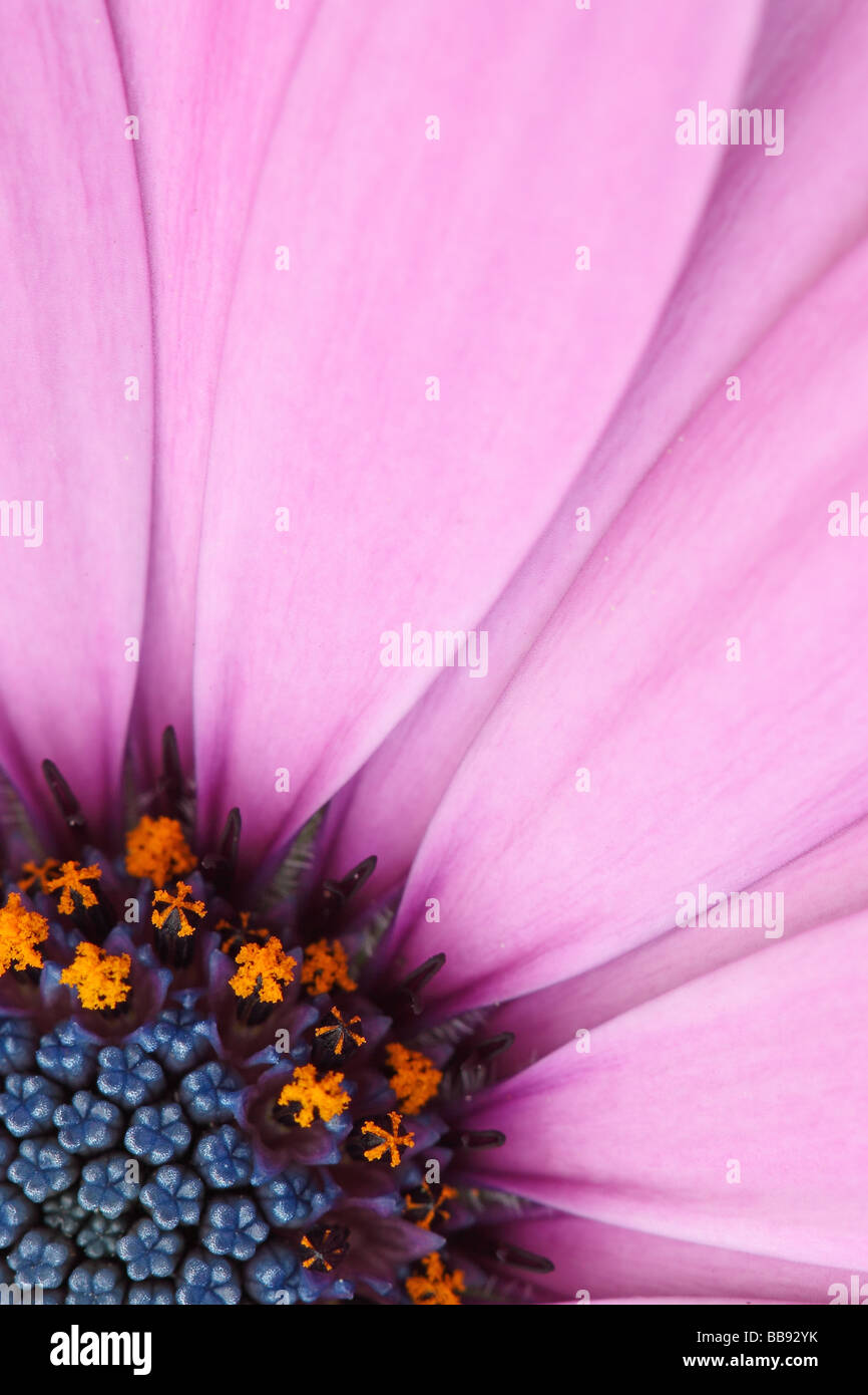 Osteospermum Flower Portrait - Stock Image