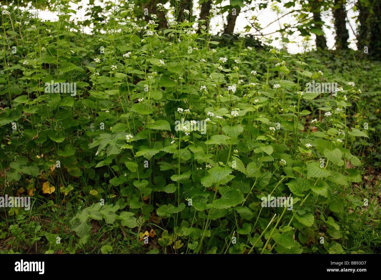Garlic Mustard, Alliaria petiolata Stock Photo