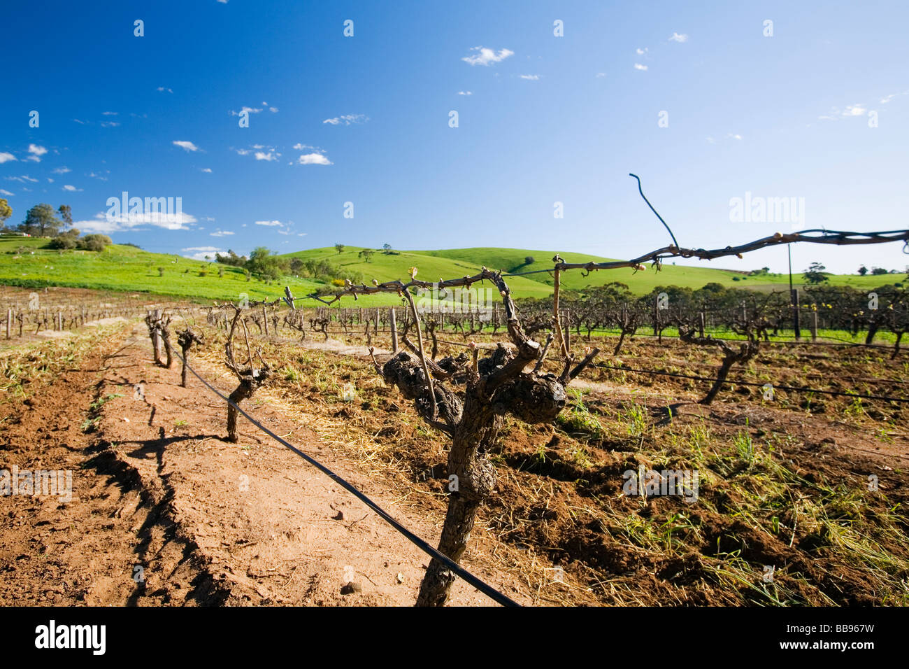 Rows of grapevines in the Barossa Valley, South Australia, AUSTRALIA - Stock Image