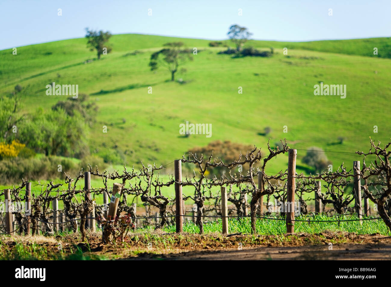 Rows of grapevines at Bethany Wines in the Barossa Valley, South Australia, AUSTRALIA - Stock Image