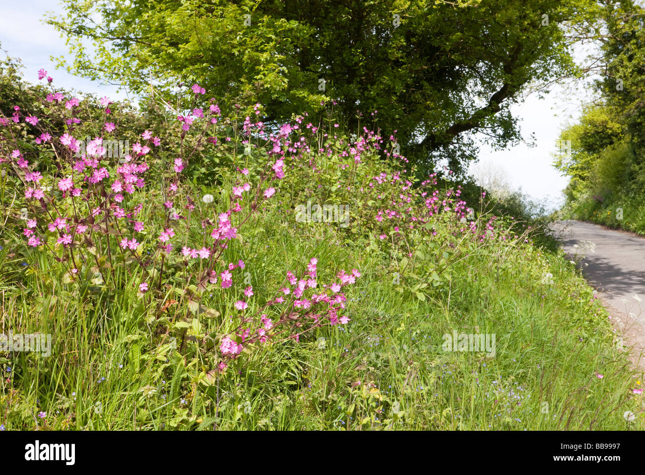 Red Campion flowering on a verge beside a Cotswold lane at Bagpath, Gloucestershire - Stock Image