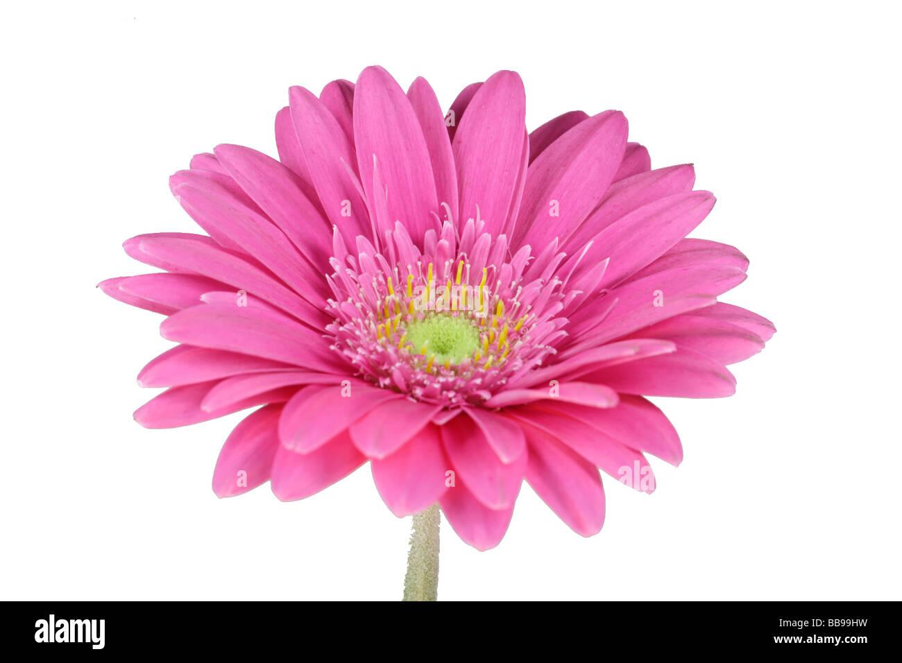 wonderfull pink flower Gerbera close up - Stock Image