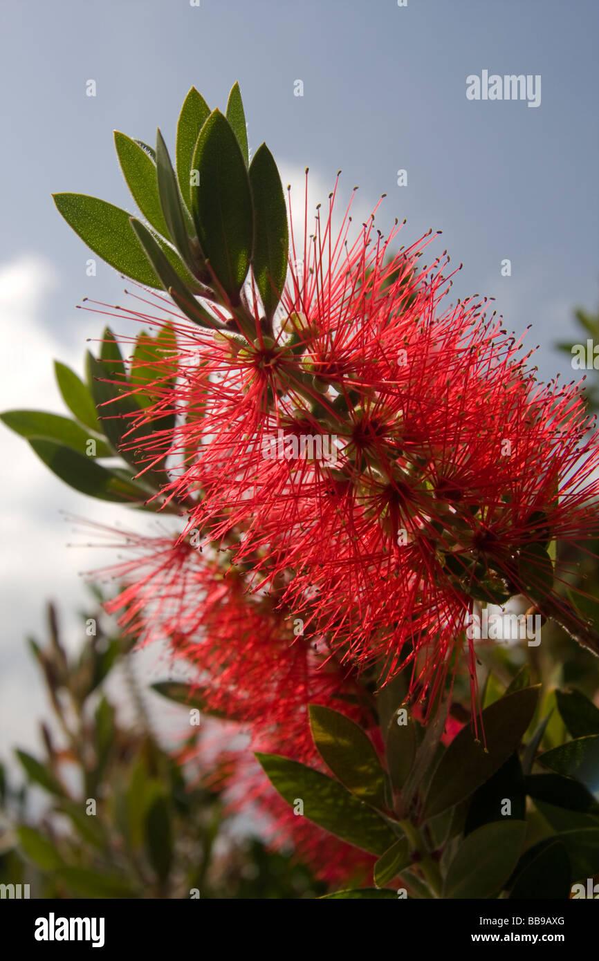 Callistemon Bottle Brush plant  Myrtaceae native of Australia and Tasmania - evergreen of 25 species - Stock Image