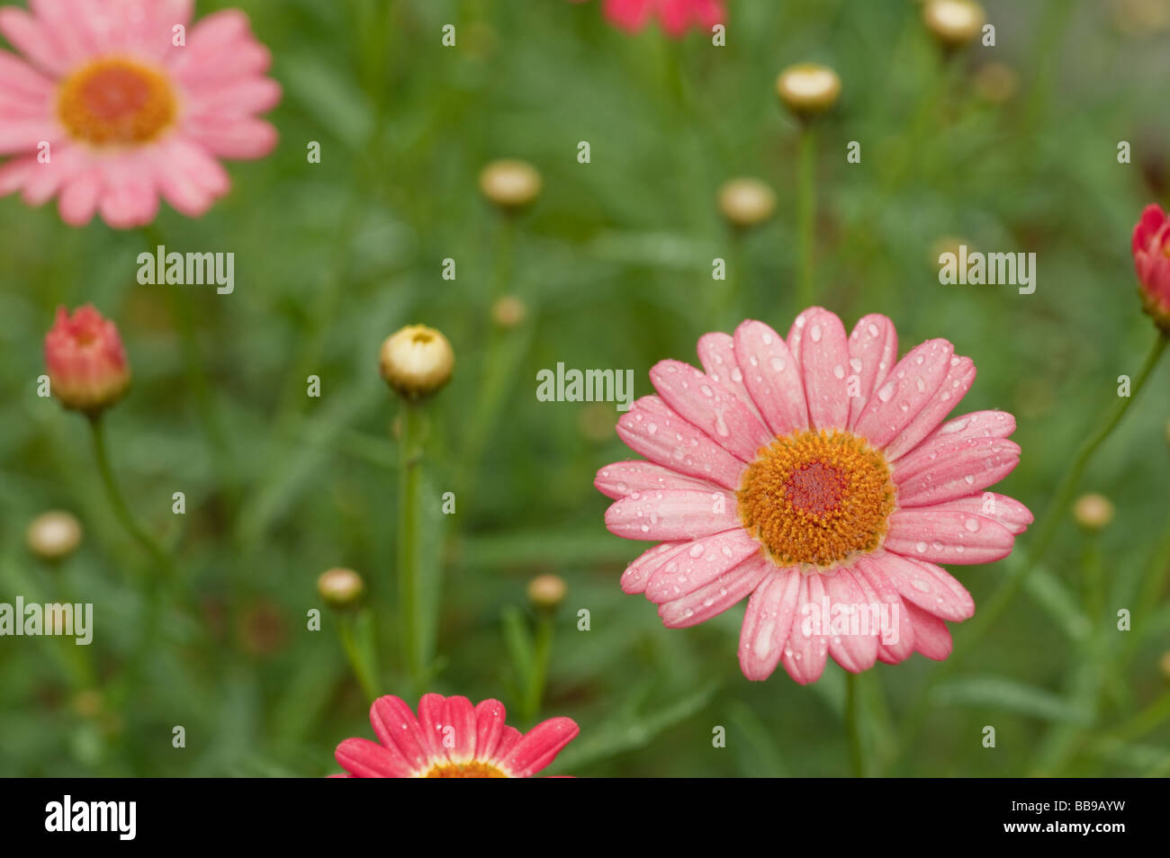 Daisy type flower stock photos daisy type flower stock images alamy pink daisy type flower blooming in a meadow after a rain stock image izmirmasajfo
