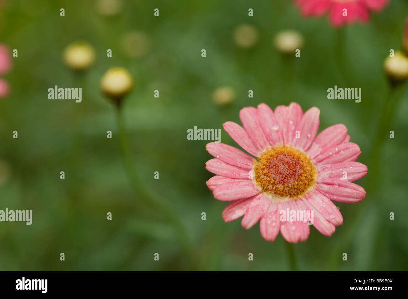 Pink daisy type flowers in stock photos pink daisy type flowers in one single bloom on daisy type flower with green in the background stock image izmirmasajfo
