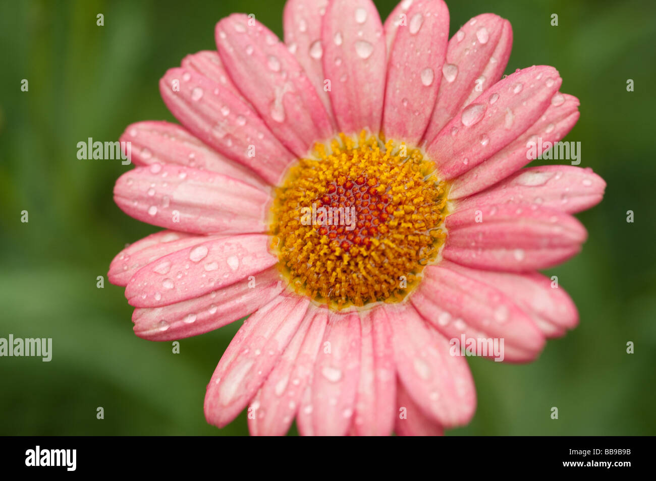 Daisy type flower stock photos daisy type flower stock images alamy close up image of daisy type flower with rain drops on it stock image izmirmasajfo