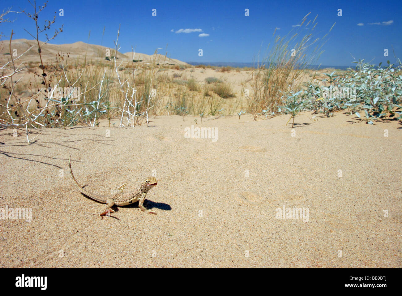 Mojave Fringe-toed Lizard in its sand dune home. - Stock Image
