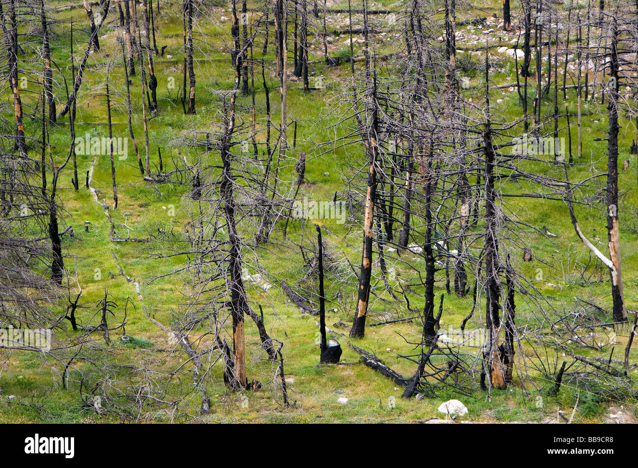 Eco catastrophe- burned trees after massive forest fire - Stock Image