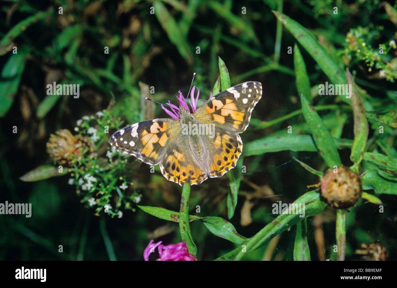 portrait of painted lady butterfly Vanessa cardui germany - Stock Image