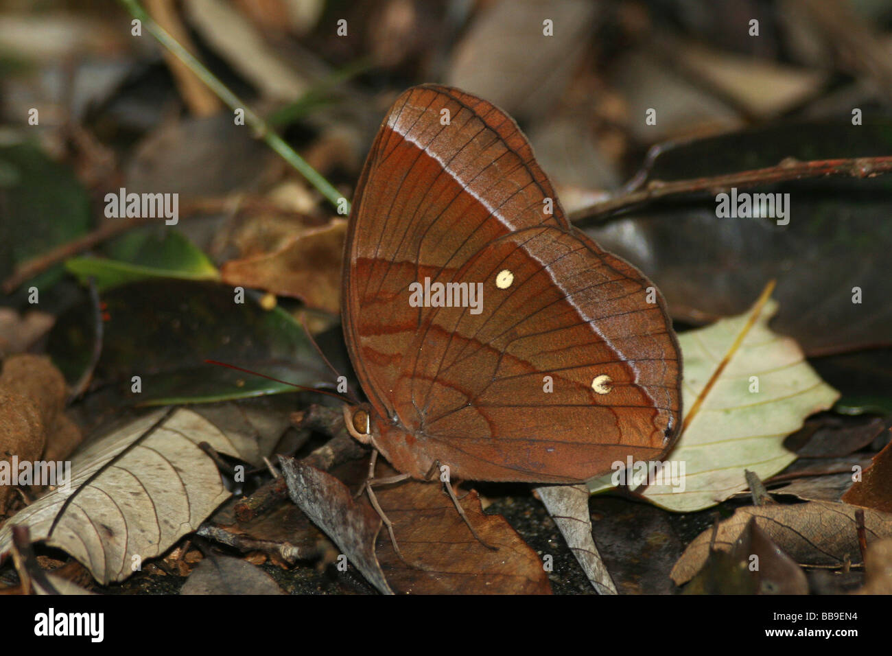 Butterfly, Viet Nam - Stock Image