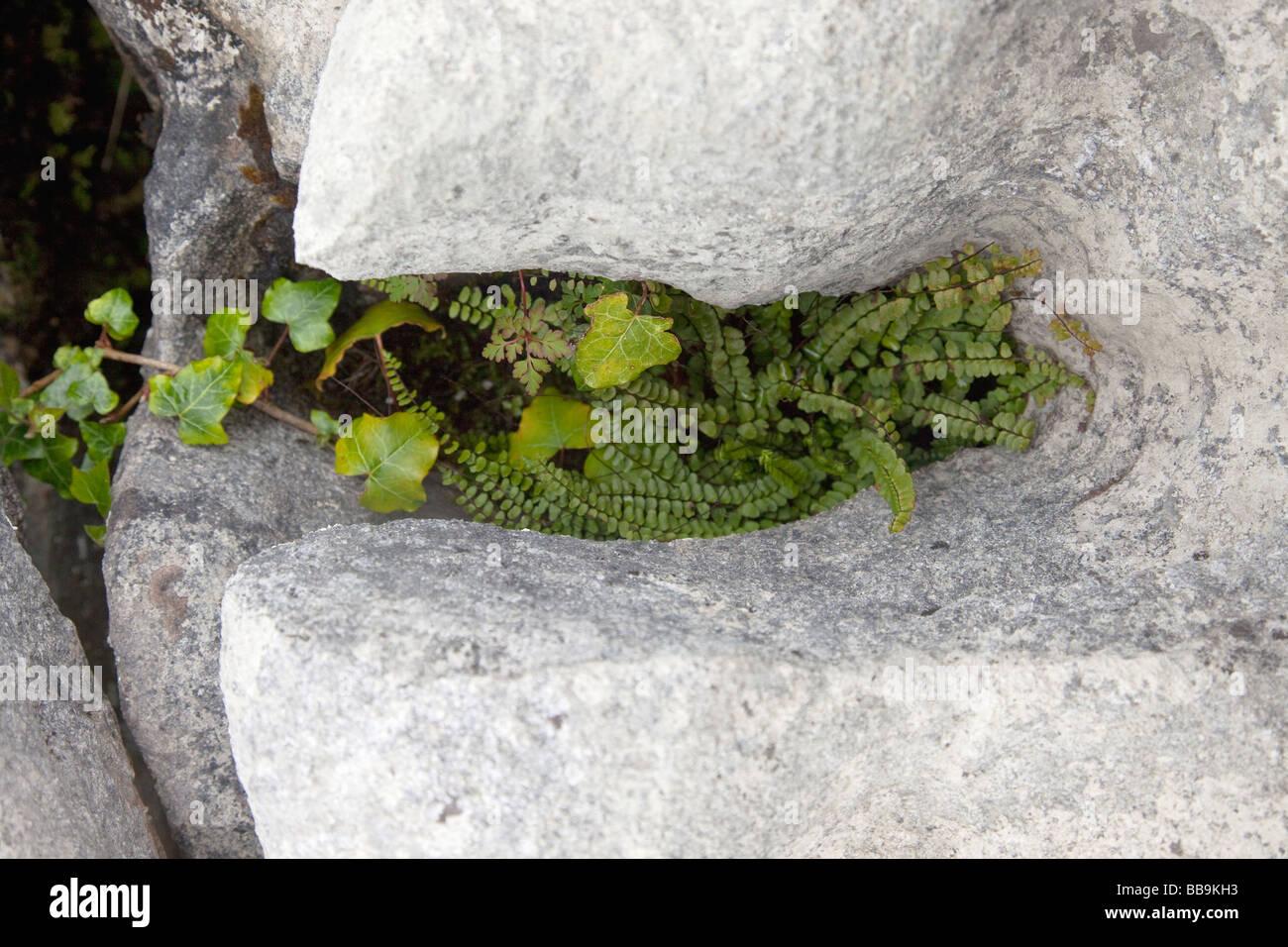 Limestone pavements Maidenhair fern Adiantum capillus veneris ivy grow Burren County Clare Ireland Eire Irish Republic - Stock Image