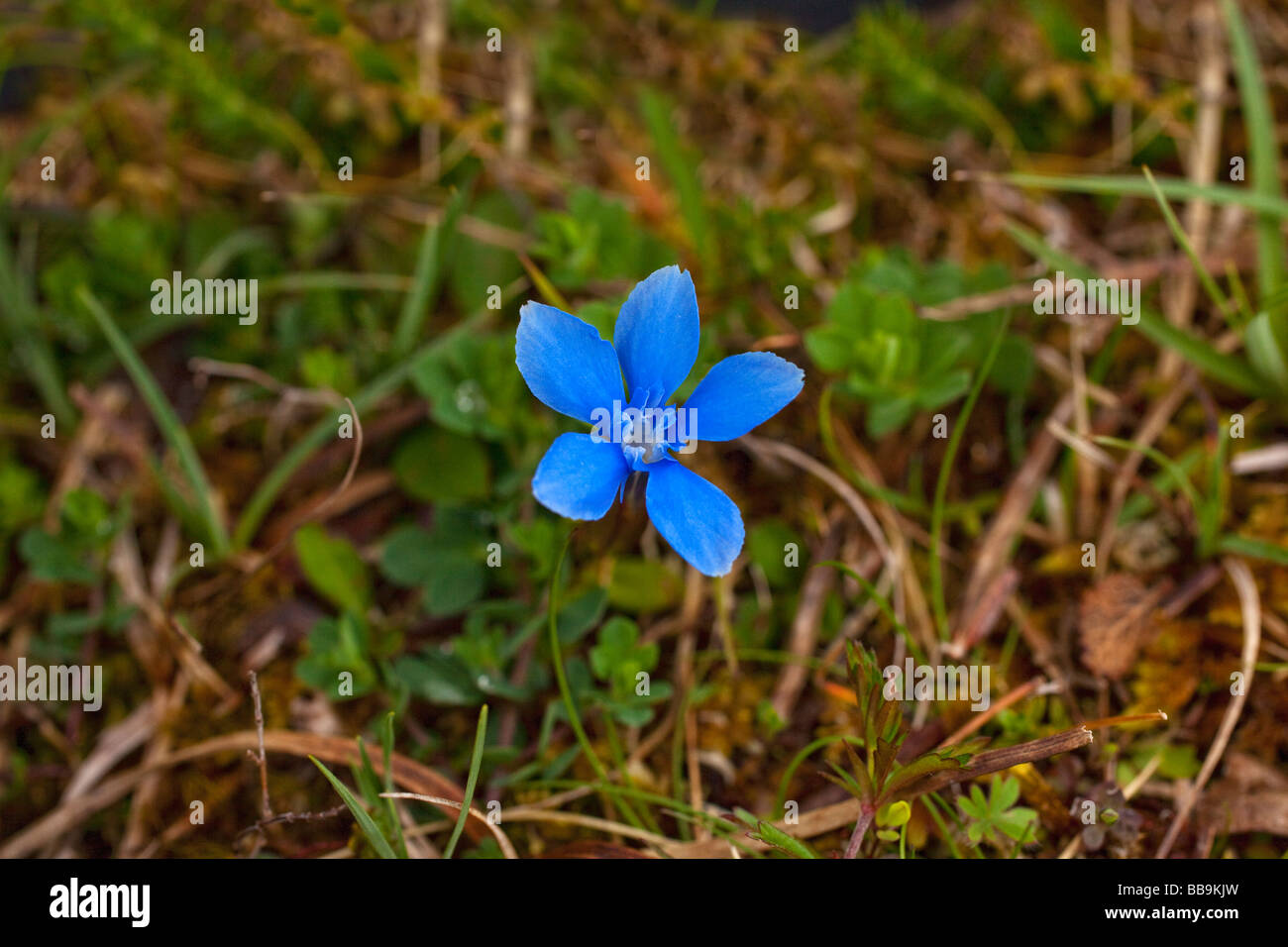 Spring Gentian Gentiana verna growing in limestone of the Burren County Clare Ireland Eire Irish Republic Europe - Stock Image