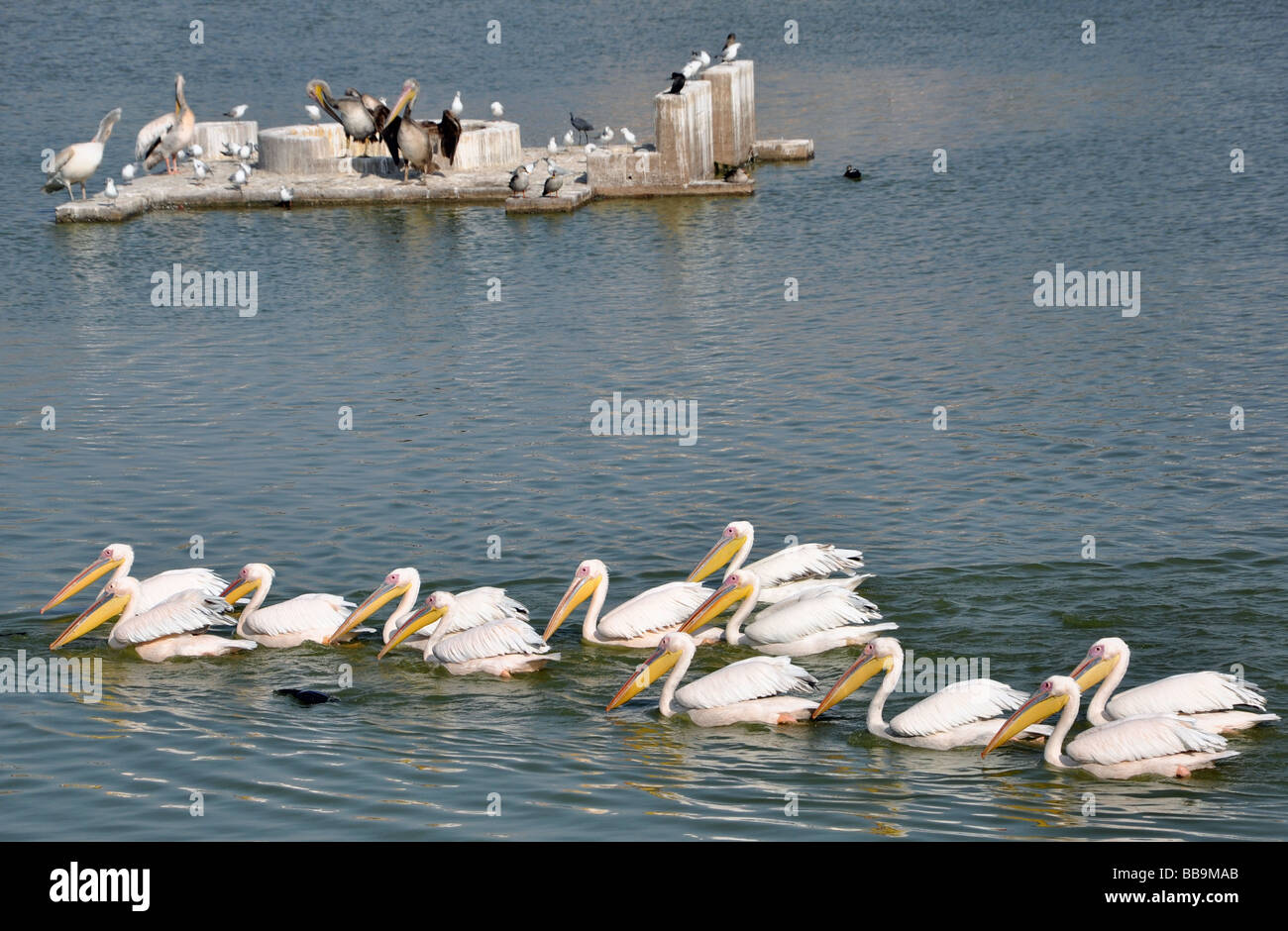 The Pelicans, the water Birds of Mandvi - Stock Image