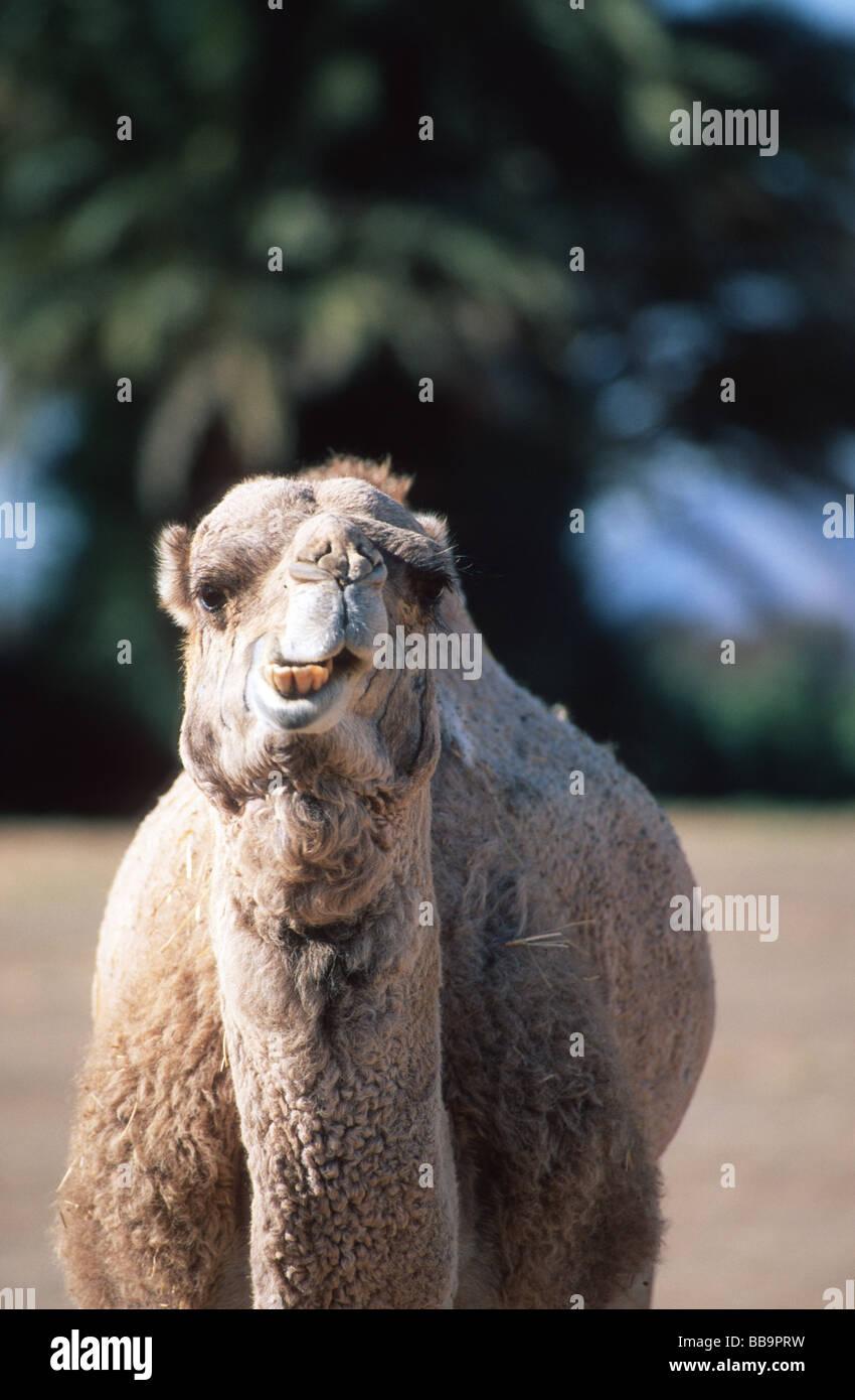Camel (dromedar) (Camelus dromedarius) looking into the camera at an oasis in Merzouga, Erg Chebbi, Morocco Stock Photo
