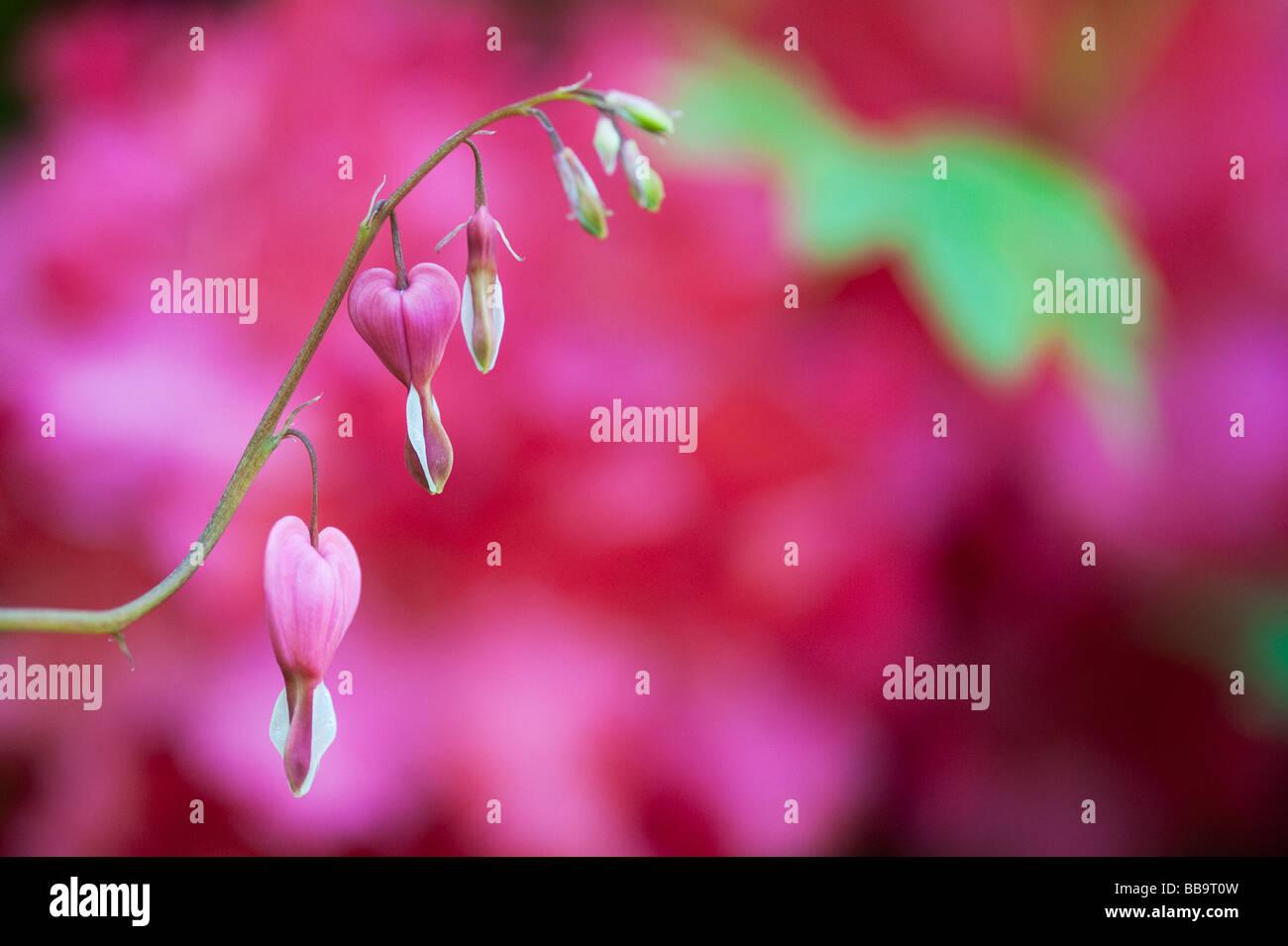 Lamprocapnos spectabilis. Bleeding heart flowers - Stock Image