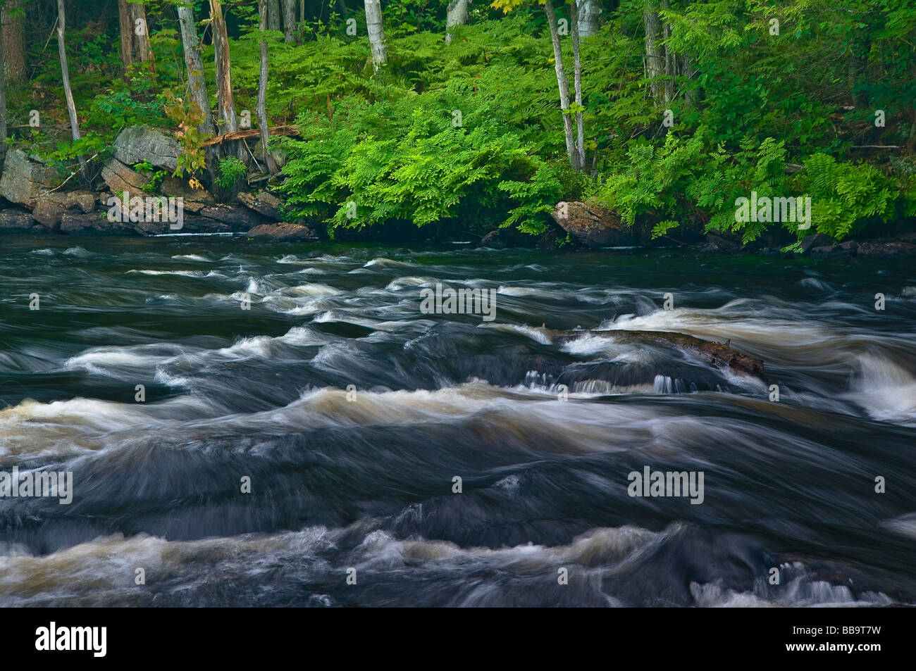 Green Ferns on banks of Oxtongue Rapids Algonquin Park Ontario Canada - Stock Image