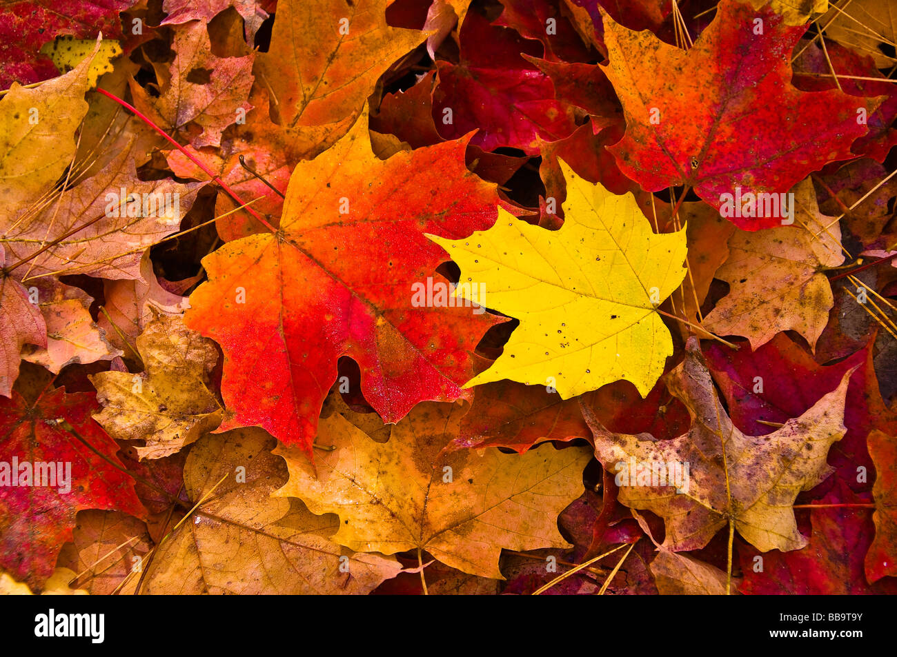 Closeup Of Autumn Leaves In Algonquin Park Ontario Canada Stock Photo Alamy