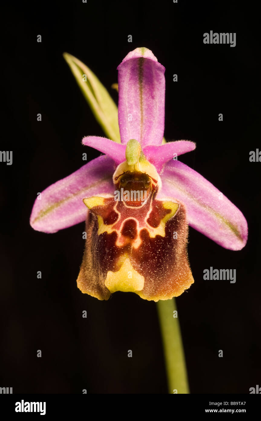 Bee orchid, Ophrys lyciensis, Kas Turkey April 2009 - Stock Image