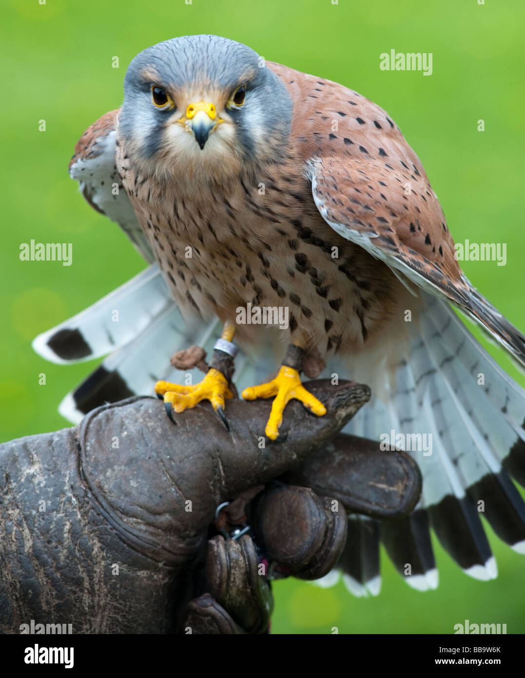 Falcon display at Linlithgow Palace, Scotland - Stock Image